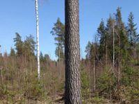 Komea mänty, näitä puita kelpaa halata
